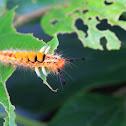 Orgyia postica (小白紋毒蛾幼蟲)