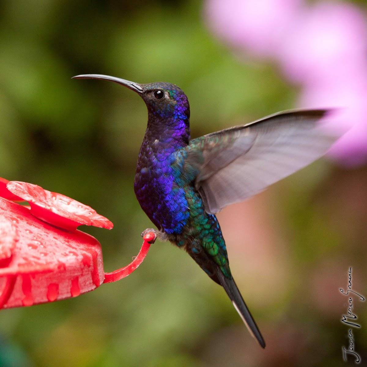 Violet Sabrewing - Colibrí morado