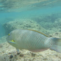 old woman wrasse