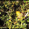 Κermes oak