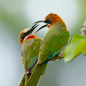 White-fronted Bee-eater  Merops bullockoides  by Chris Krog - Animals Birds ( bird, white fronted, bee, eater )