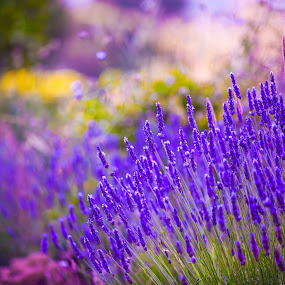 Garden flowers  Lavendar colorful background by Marjorie Speiser - Flowers Flowers in the Wild ( fragrance, body, aroma, treatment, farmland, botanical, fragrant, nature, care, ingredient, medicine, flower, spa, isolated, lilac, agriculture, relaxing, lavender, rural, scent, provence, herb, perfume, natural, floral, plant, aromatic, colorful, botany, beauty, pampering, farm, details, bath, lavandula, bunch, closeup, purple, aromatherapy, relaxation, field, organic, color, violet, background, medicinal, herbal, springtime, garden, cosmetic, , mood factory, vibrant, happiness, January, moods, emotions, inspiration, golden hour, sunset, sunrise )