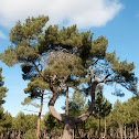 Pino resinero, Maritime pine