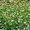 Tridax daisy