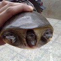 Indian Flap-shelled Turtle