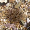 Sea- anemones