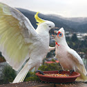 Sulfur-Crested Cockatoo and Long-billed Corella