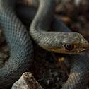Eastern Montpellier snake