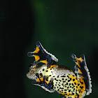 Dendropsophus marmoratus