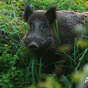 Common Wild Boar