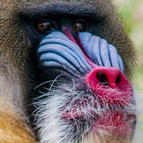 Columbus Zoo  by Russ Crane - Animals Other ( columbus, zoo, ape, monkey, animal )