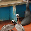 Galápagos sea lion (and pelicans fighting for fish scraps)