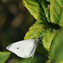 Klein koolwitje, Small Cabbage White