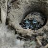 Tiger Beetle (Larvae)