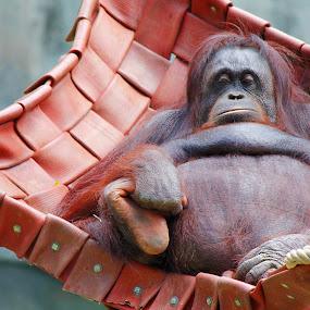 King of the Swingers by Anis Ghazalli - Animals Other Mammals ( zoo, melaka, orangutan, animal, monkey )