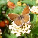 Geranium bronze. Mariposa taladro de los geranios