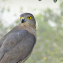 Little Banded Goshawk or Shikra
