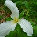 Trillium flowers