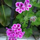 Geranio (es) Geranium (en) Xeranio (ga)