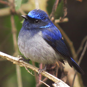 Small Niltava by Asim Mandal - Animals Birds
