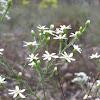 Cypress daisy bush