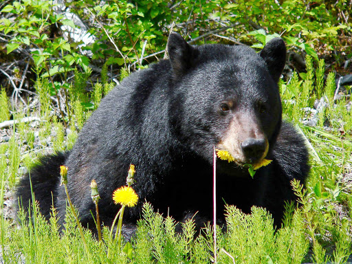 Glacier-Bay-black-bear-dandelions - A black bear feasting on dandelions in Glacier Bay National Park.