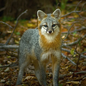 by Beth Phifer - Animals Other Mammals ( wild, fox, forrest, nature, wildlife, fur, ears, nature up close )