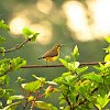 Olive-backed Sunbird or Yellow-bellied Sunbird