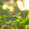 Olive-backed Sunbird or Yellow-bellied Sunbird