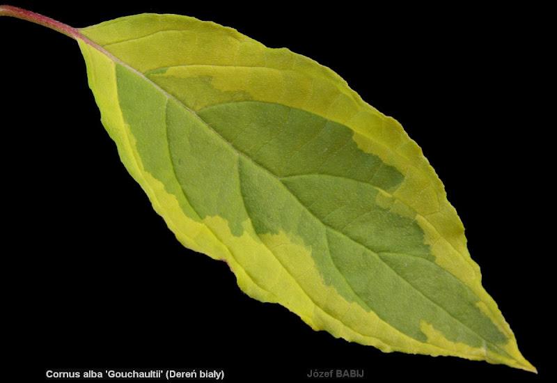 Cornus alba 'Gouchaultii' leaf - Dereń biały 'Gouchaultii' liść