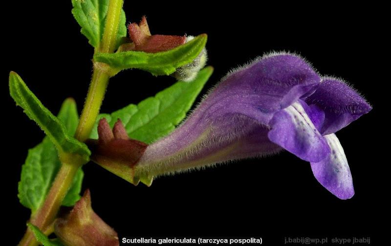 Scutellaria galericulata - Tarczyca pospolita