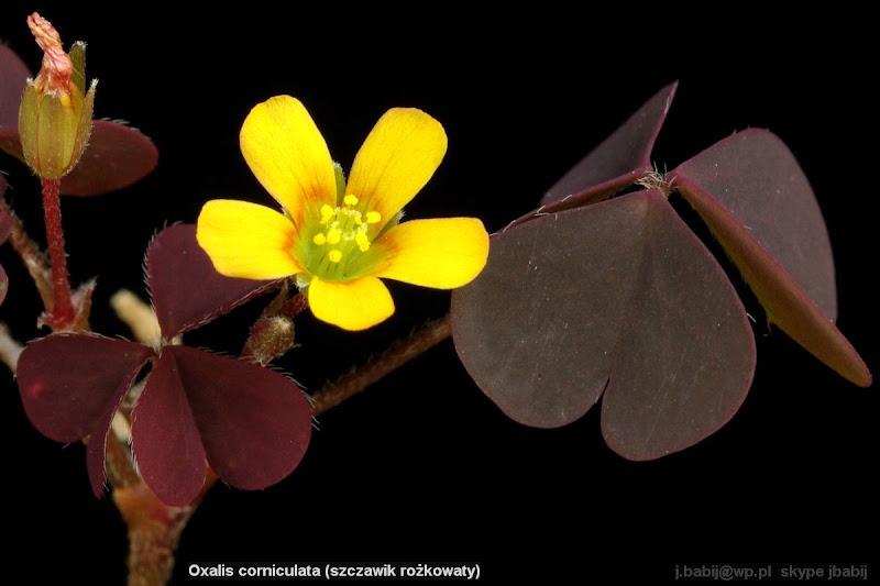 Oxalis corniculata flower - Szczawik rożkowaty kwiat