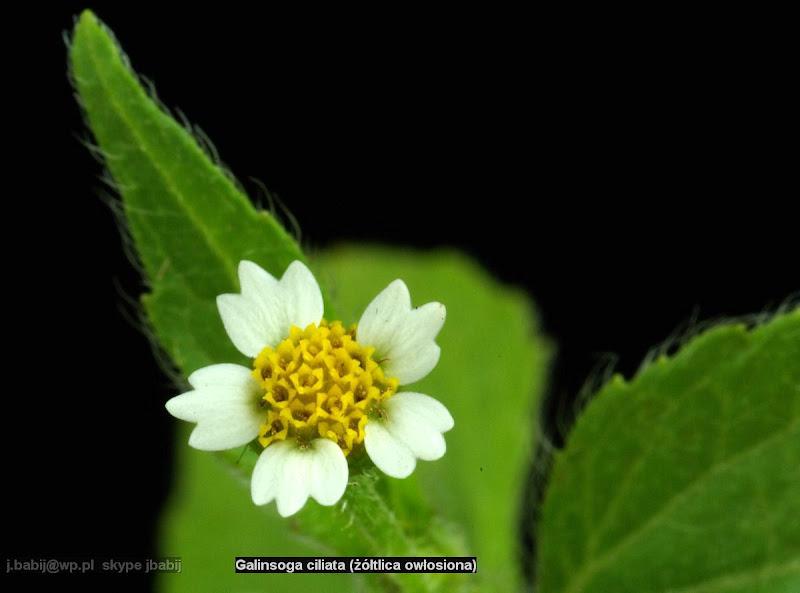 Galinsoga ciliata flower - Żółtlica owłosiona kwiat