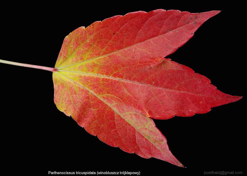 Parthenocissus tricuspidata autumn leaf - Winobluszcz trójklapowy liść jesienią