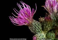 Cirsium palustre flower - Ostrożeń błotny kwiat