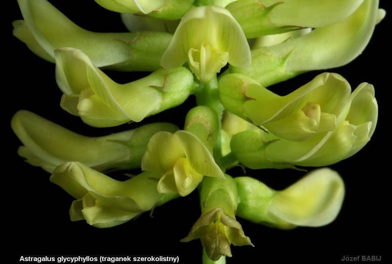 Astragalus glycyphyllos flowers - Traganek szerokolistny kwiaty