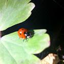 7 stop ladybird
