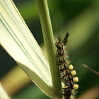 Rusty Tussock Moth/Witvlakvlinder