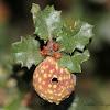 Beaked Twig Gall Wasp