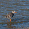 Archibebe oscuro (Spotted redshank)