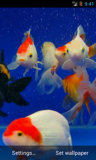 Gold Fish Video Live Wallpaper