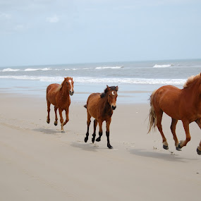 Running wild by Austin Lawler - Animals Horses ( galloping, water, horses, wild animals, beach, wild horses,  )