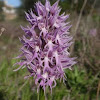 Naked Man Orchid