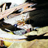 Banded Sugar Ant