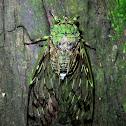 Translucent Cicada