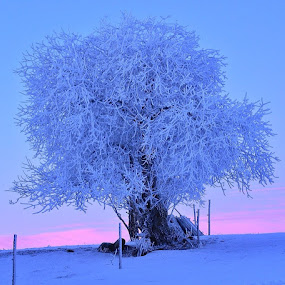 Favourite tree by Hilde Lorgen - Nature Up Close Trees & Bushes ( bluehour, winter, twilight, frozen, norway )
