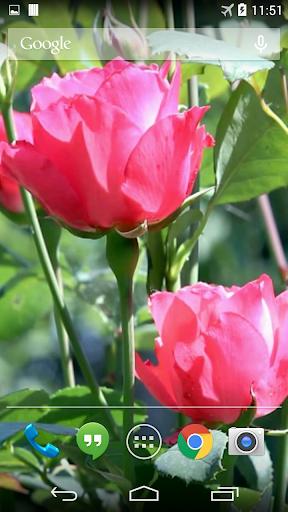Roses Video Live Wallpaper