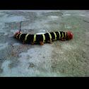 Tetrio Sphinx (larva)