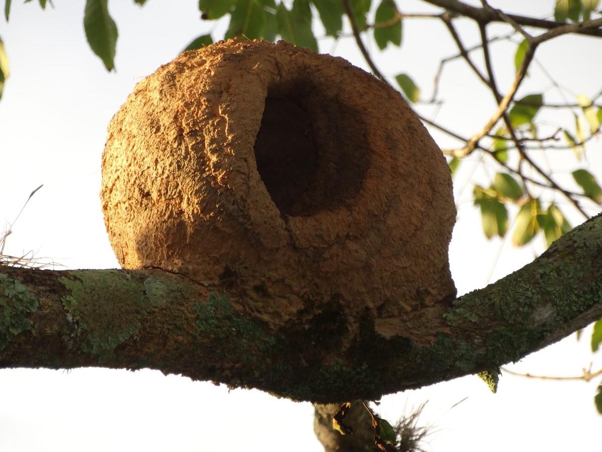 Rufous Hornero (Nest)