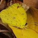 Malagasy Grass Yellow